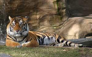 Awas, ada harimau!
